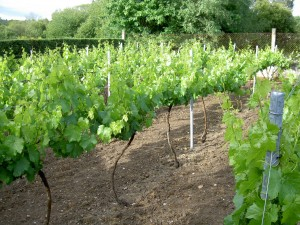 Row upon row of healthy looking vines