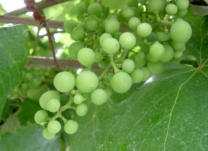Swelling grapes