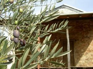 Ripening Olives in the Serra de la Lastra